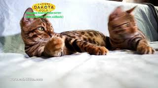 Ленивые Бенгальские котята лежат играют после обеда, Dakota Gold, bengal cat