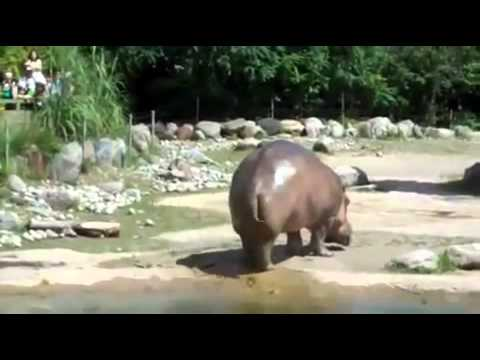 Hippo HAS GAS,  Farts then Flicks poop all over! GROSS Must SEE