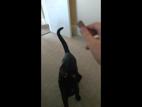 small cat plays fetch!