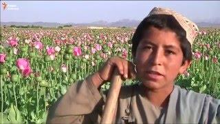 Урожай мака в Кандагаре - Afghanistan's opium trade