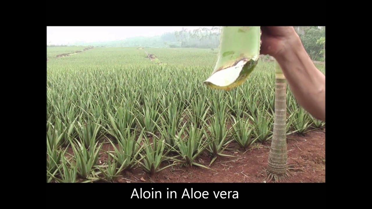how to make aloe vera grow bigger