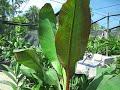 Ensete ventricosum 'maurelii' Red Abyssinian Banana