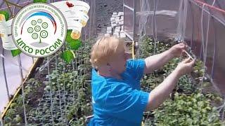 Как подвязывать помидоры. Подвязка растений томата в теплице.(Для Вас - краткий обзор прямого эфира проекта