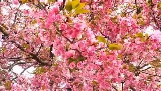 平成31年4月14日(日) 盛青桜花さくらまつり2019 造幣局広島支局 八重...