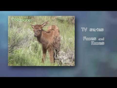 Wild Peers: Yellowstone - Elk Encounters