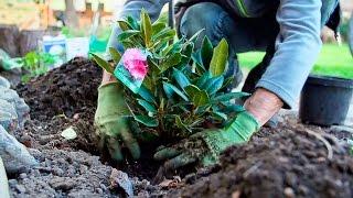 Jak sadzić i pielęgnować różaneczniki