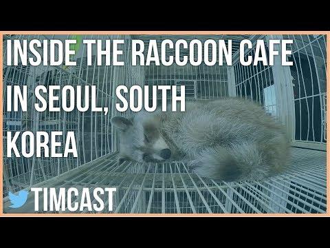 INSIDE THE RACCOON CAFE IN SEOUL, SOUTH KOREA
