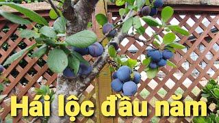 Đi hái trái plum sẵn quảng cáo cửa hàng Máy may của ba MATHEW.