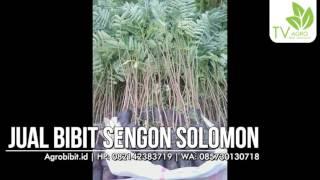 Jual Bibit Sengon Solomon