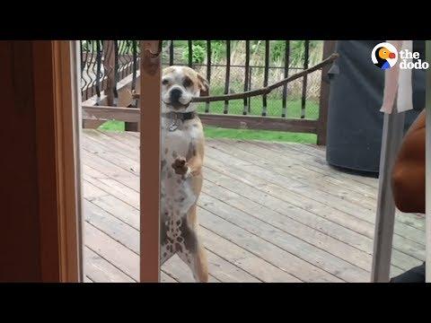 Smart Dog Gets Big Stick Through The Door | The Dodo