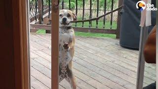 Smart Dog Gets Big Stick Through The Door   The Dodo