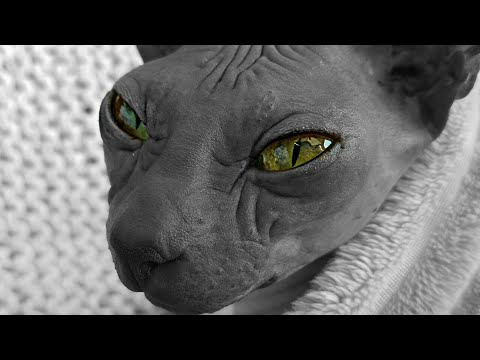 Adorable Sphynx Cats Beauty / DonSphynx /