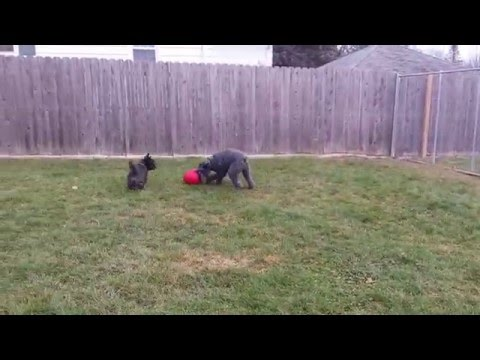 Kerry Blue Terrier and Scottish Terrier Playing Dog Soccer