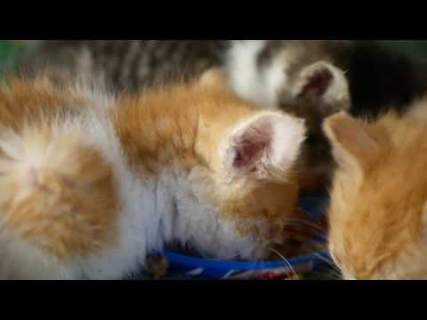 Hungry kittens eating meat 4k