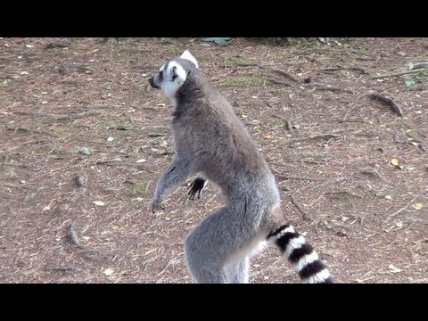 Lemur standing on hind legs