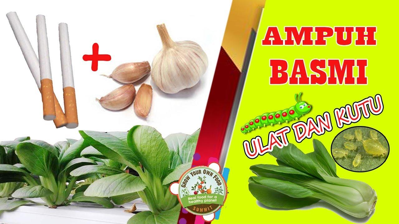 cara membuat pestisida nabati dari bawang putih dan tembakau untuk basmi ulat dan kutu daun