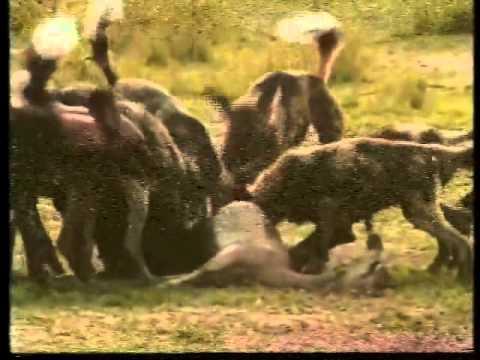 Resultado de imagem para Foto: câes selvagens atacando a presa