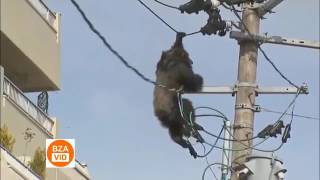 Poor Chimpanzee killed by electric shock