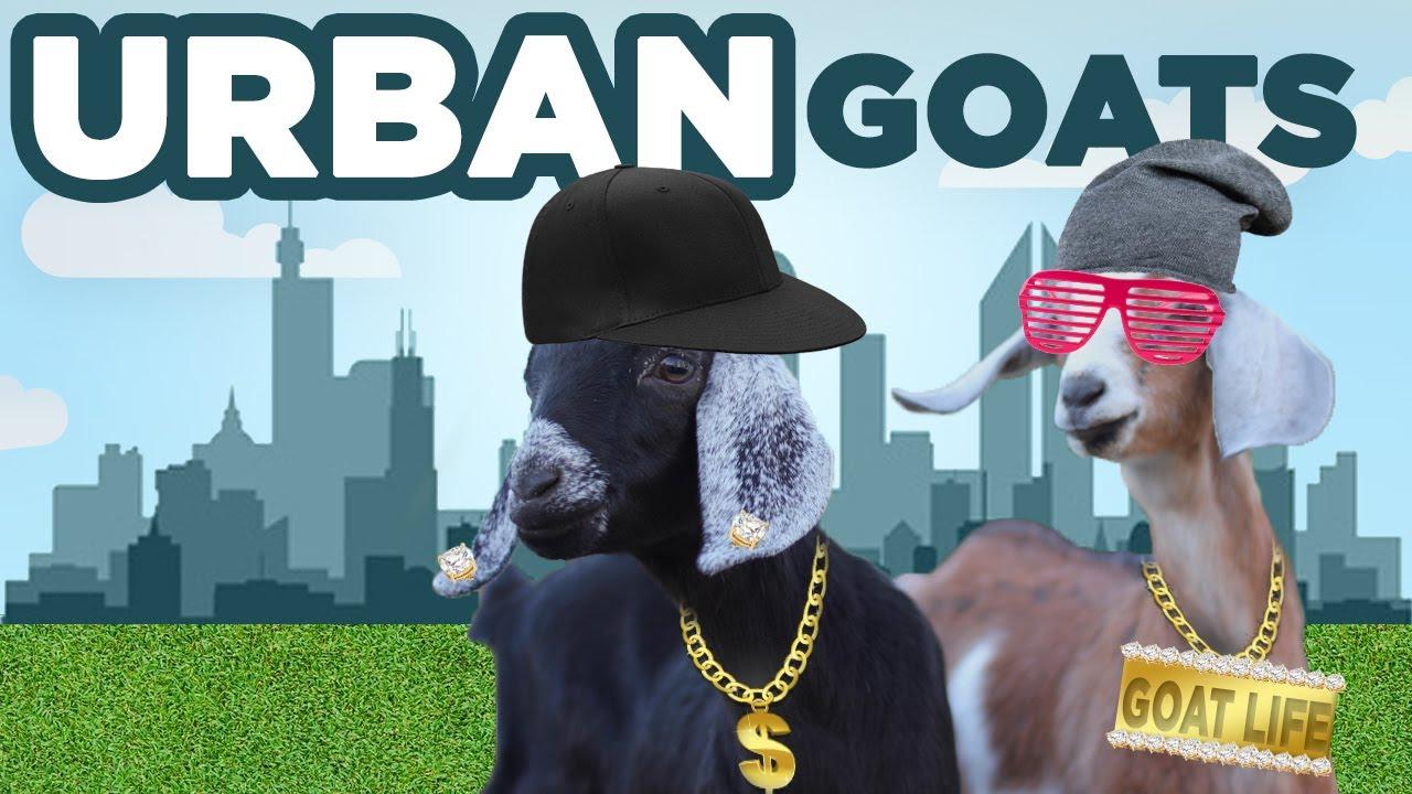 urban goats raising goats in the backyard youtube
