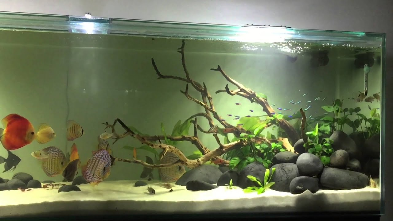 Tiger Live Wallpaper Hd Hardscape Discus Youtube
