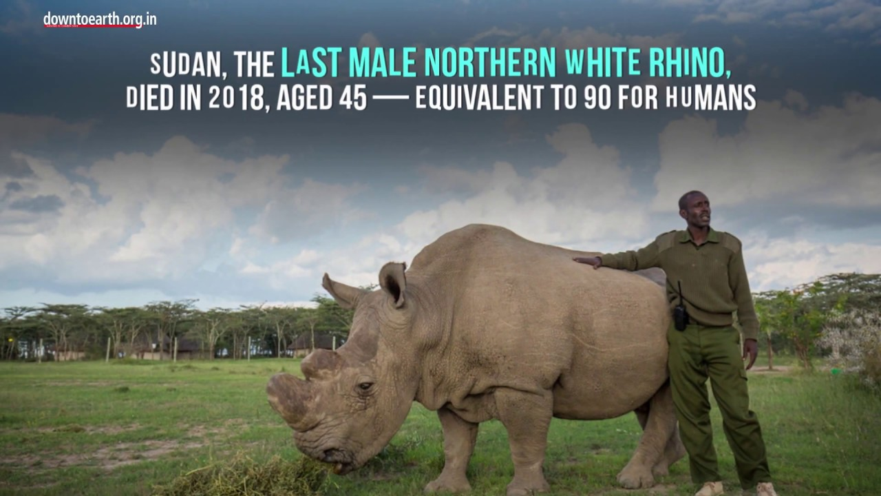 Scientists at Oxford tries IVF to save the near-extinct Northern White Rhino