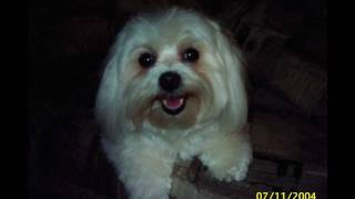 In Memory of our Maltese dog Suzie