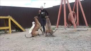 Дрессировка собак в Новосибирске. Игровой метод дрессировки собак.