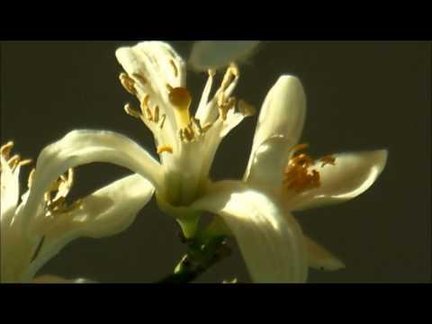 Hand pollinating my lemon tree