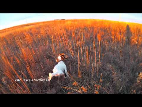 Incredible Dog Work Pheasant Hunting Nebraska