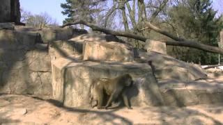 Zoo Wroclaw Małpy Pawiany