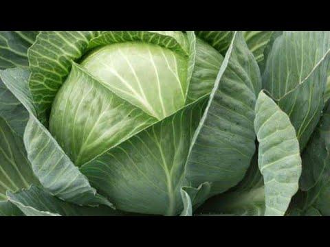 Секреты выращивания капустной рассады, как выращивать капусту, капуста в теплице, капуста в грядке