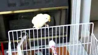 Lovebird info ♥