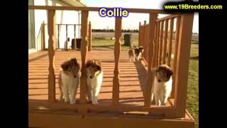 Collie, Puppies For Sale, In, Bellevue, Washington, Wa, Yakima, Kitsap, Thurston, Clark, Spokane, Sn