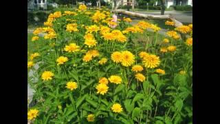 видео Осенний гелениум: описание, выращивание, размножение и фото