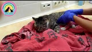 Спасаем кошку Не сразу увидели торчащие у кошки из лап кости Это  открытый перелом