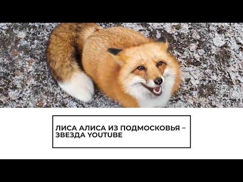Лиса Алиса - звезда Youtube