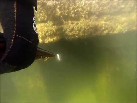 Spearfishing Black Drum - Tampa Interbay Spearfishing Championships Freediving