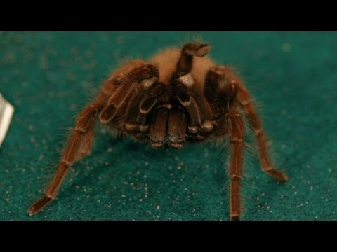 7 Goliath Birdeater Tarantula Facts | Pet Tarantulas