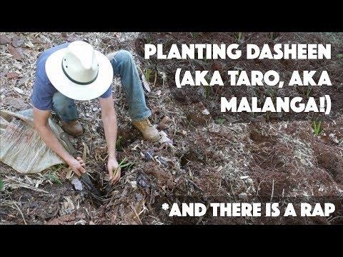 How To Plant Dasheen (AKA Taro, AKA Malanga)