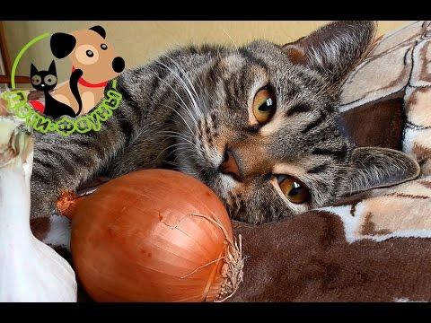 Можно ли котам есть лук