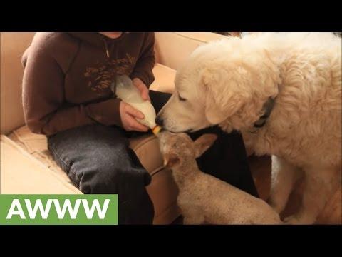 Guard dog helps keep lamb tidy during bottle feeding