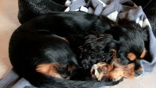 Sleeping Cavalier King Charles Spaniel Puppy - Black And Tan 2