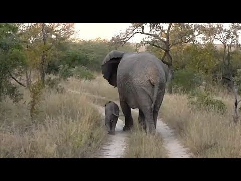 SafariLive May 11 - Very tiny baby Elephant!