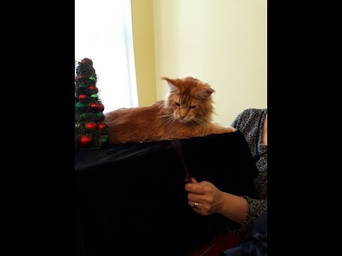 Huge Maine Coon Cats