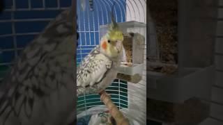 Sultan papaganı akıllı yemlik meraklı sultan