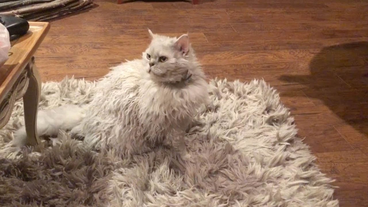 Cat Blends Into Fluffy Rug - YouTube