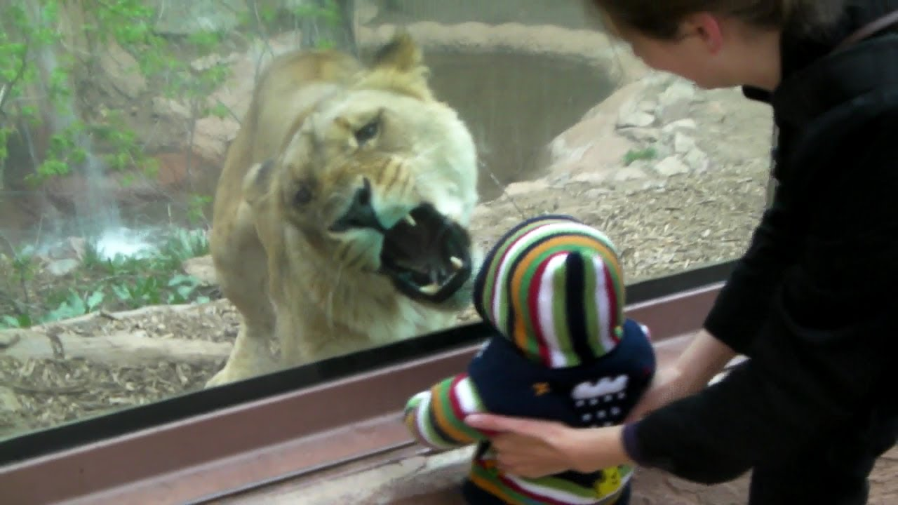 Lioness Tries To Eat Baby At The Zoo Youtube