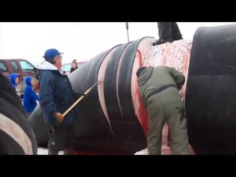 Harvesting a Bowhead Whale on the Remote Coast of High Arctic Northern Alaska