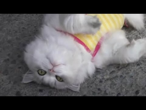 Cat Want ATTENTION best video SUSHI Want Attention - Chinchilla Persian Cat