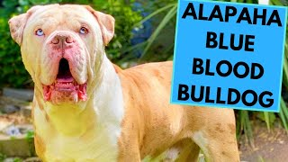 Alapaha Blue Blood Bulldog  Facts and Information